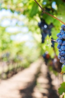 Viticulture - Oenology